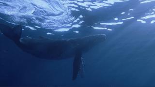 4K座头鲸